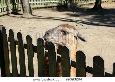 Lama at the fence at the zoo
