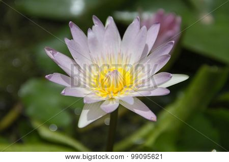 Single Lotus On The Water