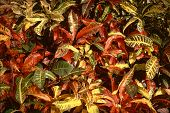 picture of crotons  - Crotons - JPG