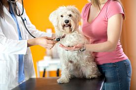 image of respirator  - Respiration check up of sick Maltese dog while giving paw in vet clinic - JPG