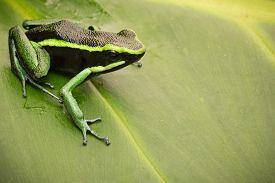 pic of poison arrow frog  - poison dart frog - JPG