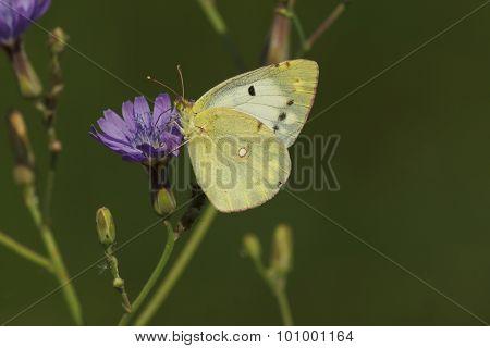 Brimstone Butterfly On Wild Flower