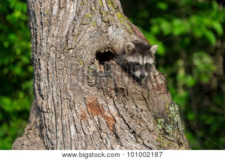 Young Raccoon (procyon Lotor) Looks Out From Tree