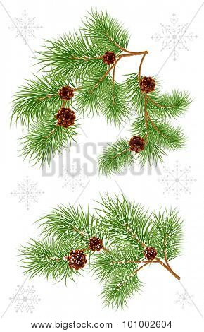 Spruce branches with cones. Vector illustration.