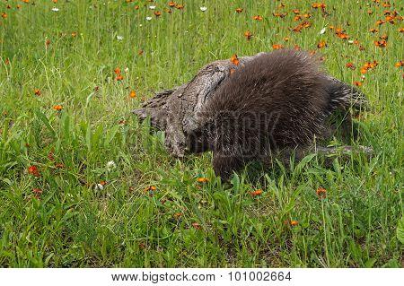 Porcupine (erethizon Dorsatum) Clambers Off Log