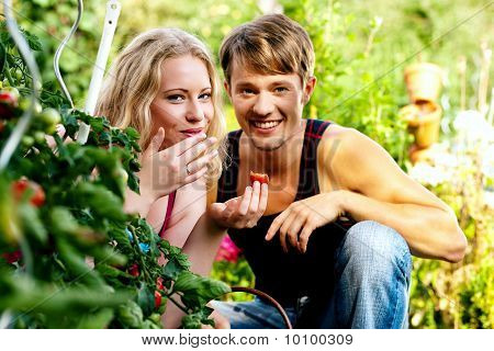 Harvesting Tomatoes - couple