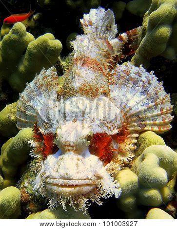 Spotted Scorpionfish (scorpaena Plumieri) - Devil Fish