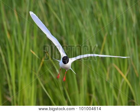 The Little Gull (larus Minutus) In Flight