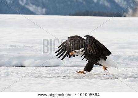 The Bald Eagle Landed