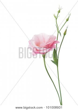 Light pink flower ( Eustoma) isolated on white.