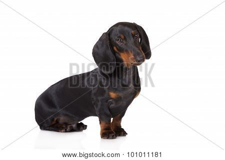 adorable dachshund dog posing on white