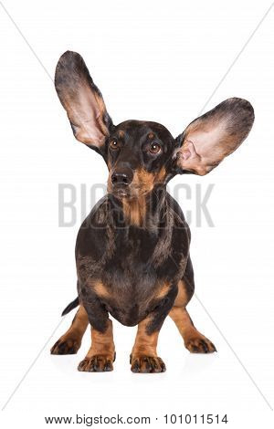 funny dachshund dog with ears in the air