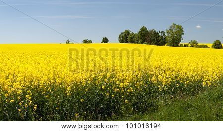 Panoramic View Of Flowering Field Of Rapeseed