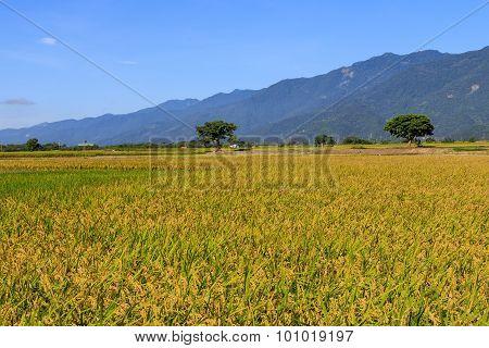 Gold Paddy