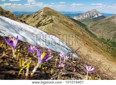 Springtime View Of Flowering Crocuses