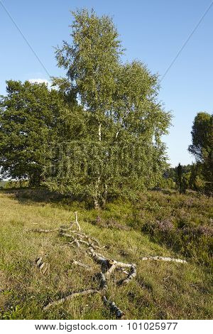 Luneburg Heath - Landscape With Tree And Brushes