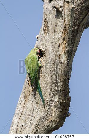 Rose-ringed Parakeet In Arugam Bay Lagoon, Sri Lanka