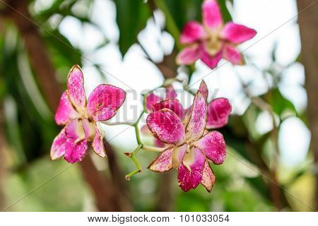 Sear Orchid