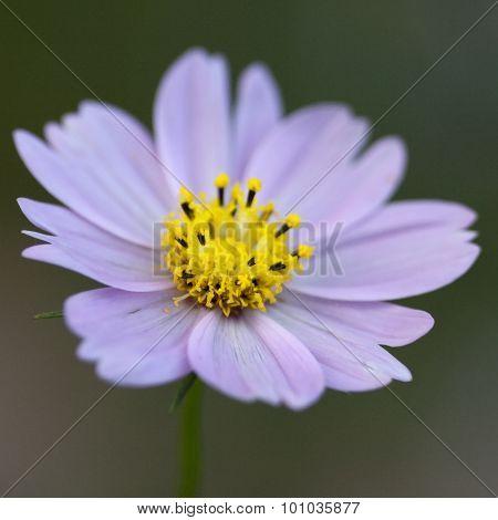 Lavender Cosmos Blossom