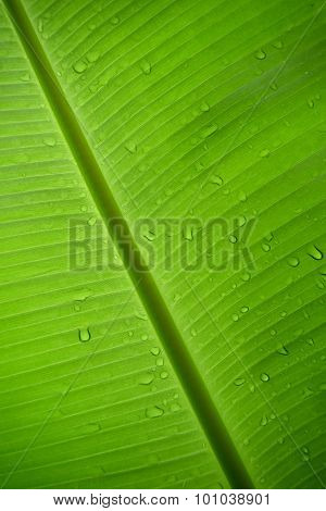 Green Banana leaf and drop rain  nature abstract background