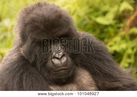 Gorilla In Forest Looks Sadly Into Distance