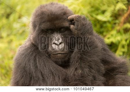 Gorilla Scratches Its Head With Eyes Closed