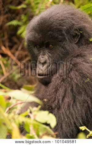Gorilla Surrounded By Undergrowth Staring Into Distance