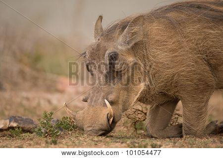 Head Of Warthog Kneeling To Find Food
