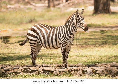 Zebra Standing On Path Looking Towards Camera