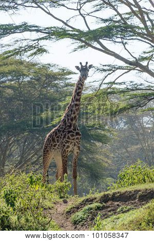 Giraffe Standing At Top Of Hill Path