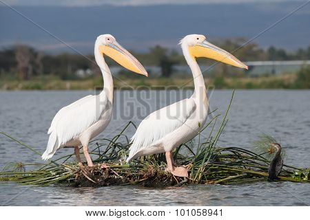 Two Pelicans Perched One Behind The Other