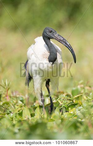 Sacred Ibis Walking Among Plants In Marsh