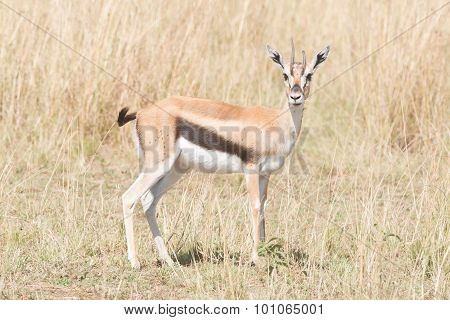 Young Thomson's Gazelle Stands Staring At Camera