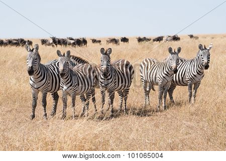 Line Of Five Zebra Staring At Camera
