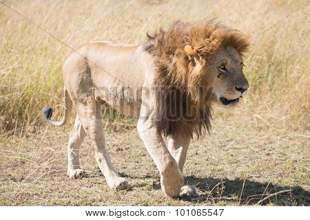 Male Lion Walks Head Down Across Savannah
