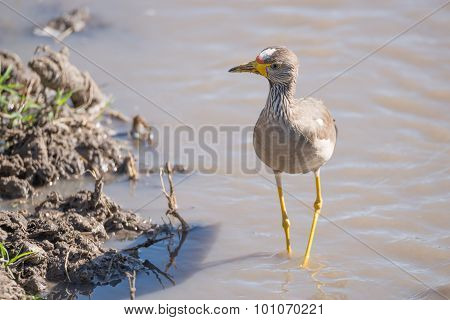 African Wattled Lapwing By Muddy River Bank