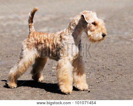 Lakeland Terrier Standing