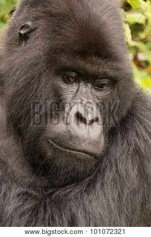 Close-up Of Silverback Looking Down In Forest