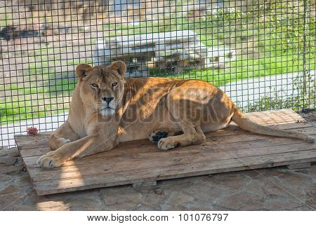 Lonely lioness in a cage