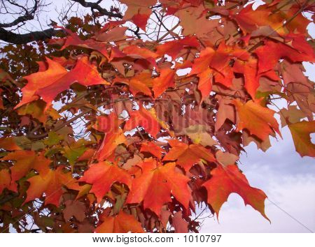 Fall Colors Autumn Maple Leaves