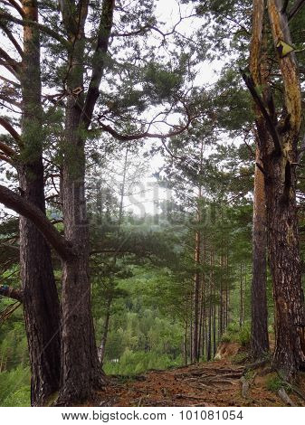 Coniferous Trees On The Brink Of Break Of The Mountain