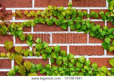 Red brick wall and green ivy background