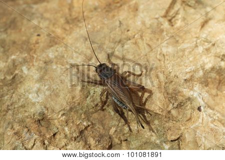 House cricket (Acheta domestica). Wild life animal.