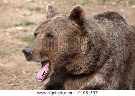 Brown bear (Ursus arctos). Wild life animal.