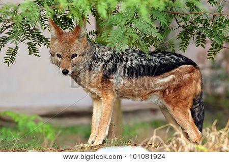 Black-backed jackal (Canis mesomelas). Wild life animal.