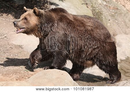 Brown bear (Ursus arctos) after swimming. Wild life animal.
