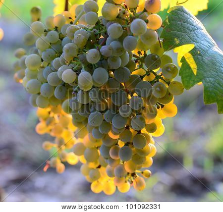 Homegrown bunches of white grapes with green leaves