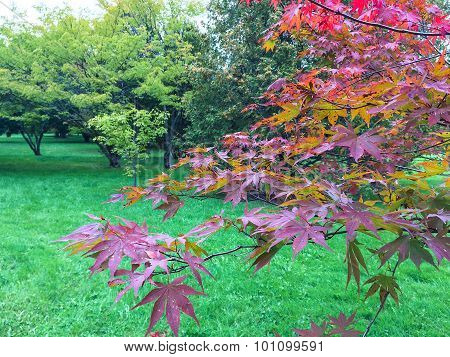 Tree With Purple Autumn Leaves