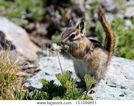 Chipmunk Eating Seeds