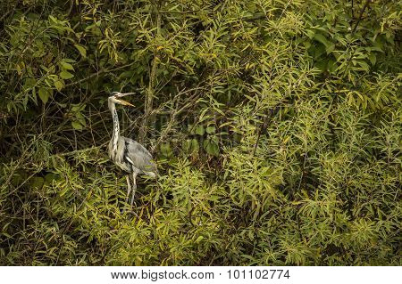Grey Heron ardea cinerea sitting in a tree squawking